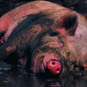 Вся правда о свиньях: это мы их такими сделали