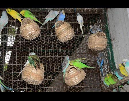 Успешное разведение (размножение ) волнистых попугаев в домашних условиях 67