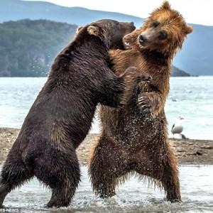 Битва титанов: как два медведя подрались за рыбку (Фото)